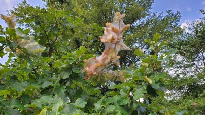 Swamp White Oak (Quercus bicolor) With Tent Caterpillars
