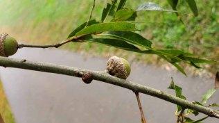 Willow Oak (Quercus phellos) Acorn