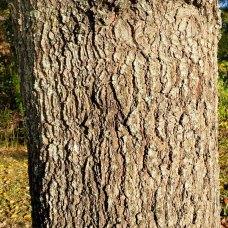 Willow Oak (Quercus phellos) Bark