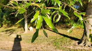 Willow Oak (Quercus phellos) Leaves - Who is that Masked Man?!