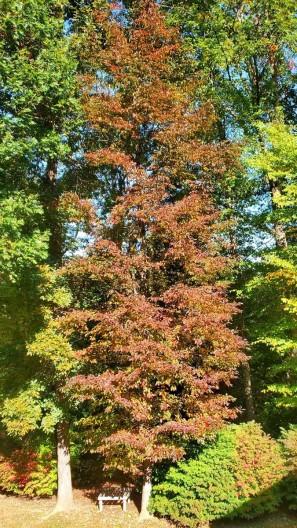 Willow Oak (Quercus phellos) Tree