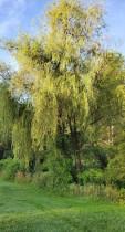 Weeping Willow (Salix X pendulina*) Tree