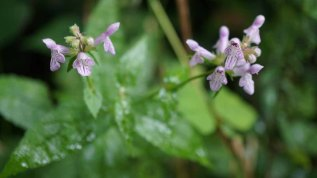a Hedge Nettle (Stachys sp.)