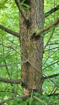 Bald Cypress (Taxodium distichum) Bark