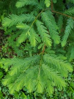 Bald Cypress (Taxodium distichum) Leaves