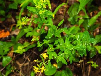 Spotted St. John's-wort (Hypericum punctatum)