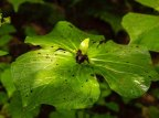 Wake Robin (Trillium erectum) fruit