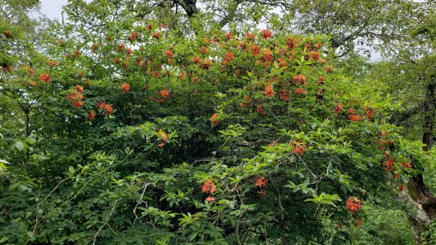 Flame Azalea (Rhododendron calendulaceum) Form