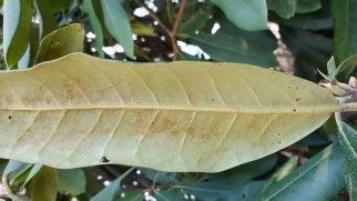 Rosebay; Great Laurel (Rhododendron maximum) Leaf