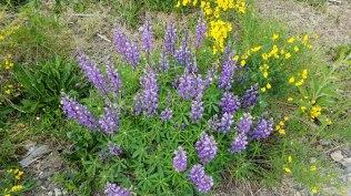 a Lupine (Lupinus sp.) & Scotch Broom (Cytisus scoparius*)
