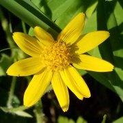 Broadleafed Arnica (Arnica latifolia) Bloom