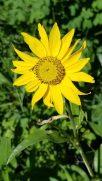 Wolf's Bane (Arnica montana) Bloom