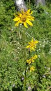Wolf's Bane (Arnica montana) Plant