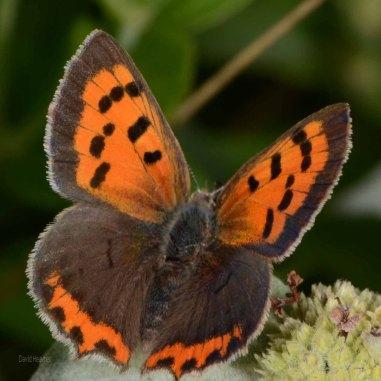 American Copper Butterfly