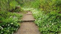 Avalanche Lilies (Erythronium montanum)