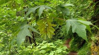 Bigleaf Maple (Acer macrophyllum)