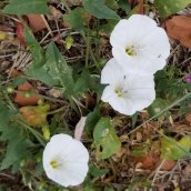 Field Bindweed (Convolvulus arvensis*)