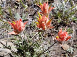 Indian Paintbrush (Castilleja linariaefolia)