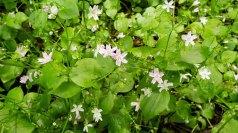 Candy Flower (Claytonia sibirica)