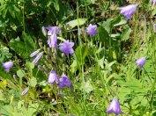 Mountain Harebell (Campanula rotundifolia)