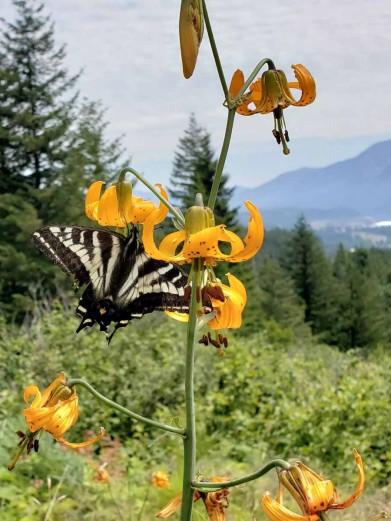 Columbia Lily (Lilium columbianum) & Pale Swallowtail Butterflies