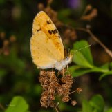 Tawny Crescent Butterfly