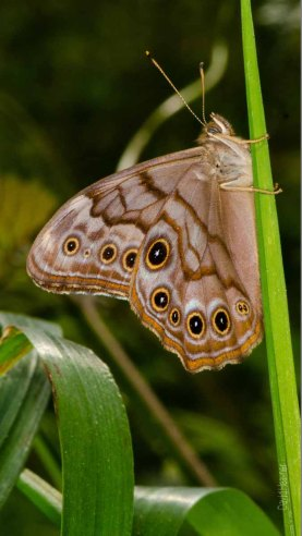 Creole Pearly-Eye Butterfly