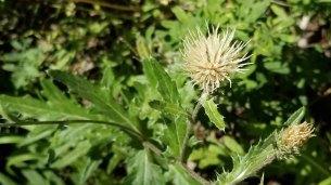 Tracy's Thistle (Cirsium undulatum v. tracyi)
