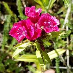 Sweetwilliam (Dianthus barbatus*)