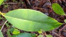 Carolina Azalea (Rhododendron minus var. minus) Leaf
