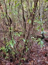 Carolina Azalea (Rhododendron minus var. minus) Form