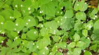 Dwarf or Smaller Enchanter's Nightshade (Circaea alpina)