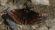 Sleepy Duskywing Butterfly