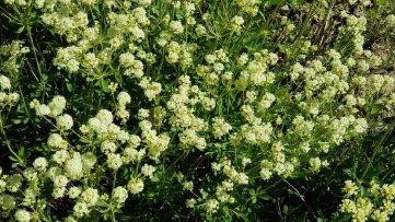 Parsnipflower Buckwheat (Eriogonum heracleoides)