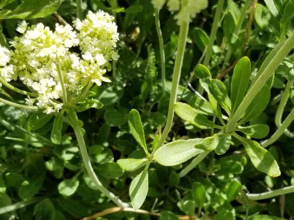 Parsnipflower Buckwheat (Eriogonum heracleoides) Leaves