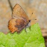 Brown Elfin Butterfly