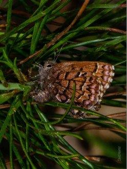 Pine Elfin Butterfly