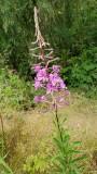 Fireweed (Chamaenerion angustifolium)