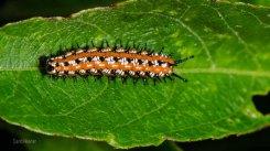 Variegated Fritillary Butterfly Caterpillar