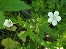 Richardson's Geranium (Geranium richardsonii)