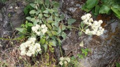 Heartleaf Buckwheat (Eriogonum compositum)