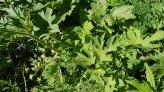 Cow Parsnip (Heracleum maximum) Leaves