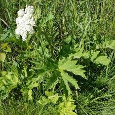 Cow Parsnip (Heracleum maximum)