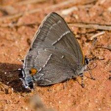 White-M Hairstreak Butterfly