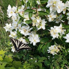 Lewis's Mock-Orange (Philadelphus lewisii) & Pale Swallowtail Butterfly (Papilio eurymedon)