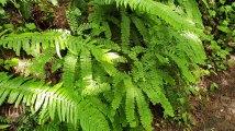 Maidenhair Fern (Adiatum aleuticum)
