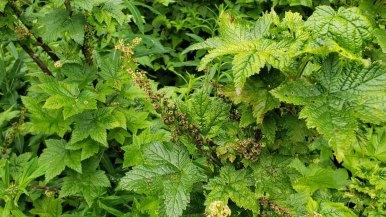 Maple-Leaved Currant (Ribes acerifolium)