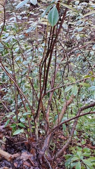 Piedmont Rhododendron (Rhododendron minus) Form