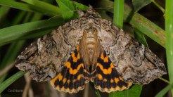 Locust Underwing Moth