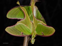 Luna Moth Mated Pair
